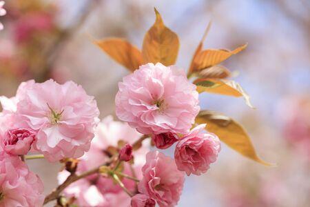 만개 한 번 두 번 벚꽃 - Kanzan -