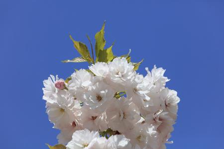 만발한 두 번 벚꽃 -Fugenzo-