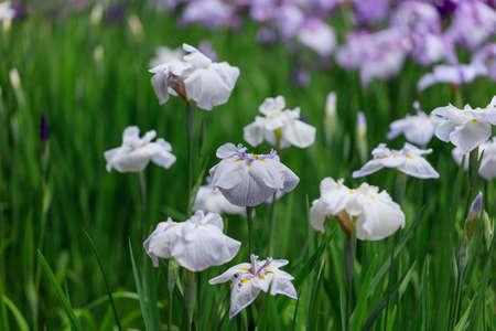 honey tone: The irises blooming in Tokyo, Shobuda Stock Photo
