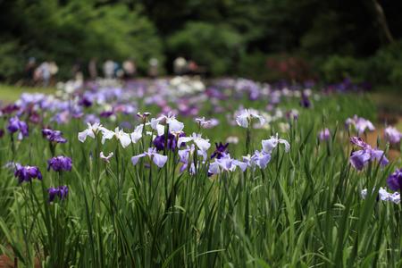 The irises blooming in Tokyo, Shobuda Stock Photo