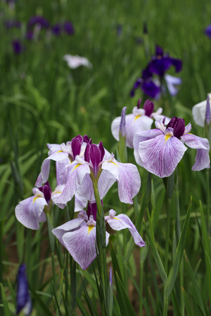 Tokyo, rainy season, irises