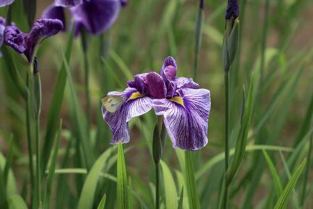 pieris: Iris flowers and butterfly