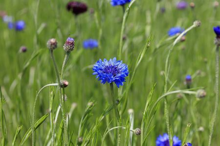 Centaurea cyanus blooming in a field - early summer in Japan