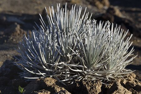 Mauna Kea silversword of April