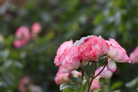 shrubbery: White and Pink roses - Autumn flowers in Japan -