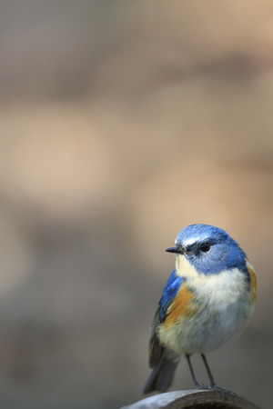 Red-flanked bluetail of Shibuya Tokyo - For post cards -