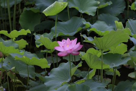 Lotus of Tokyo Ueno - Summer flowers in Japan -