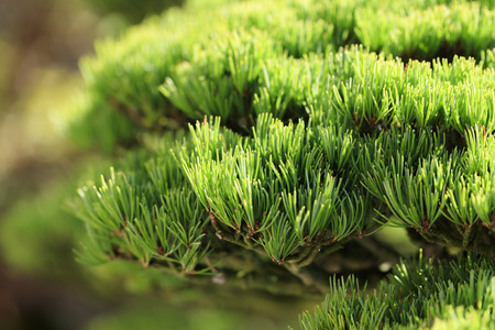 Bonsai - Five leaf pine - Stock Photo