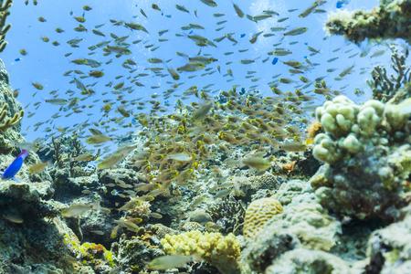 Ishigaki Island Diving - Horde of Young Pterocaesio digramma Stok Fotoğraf
