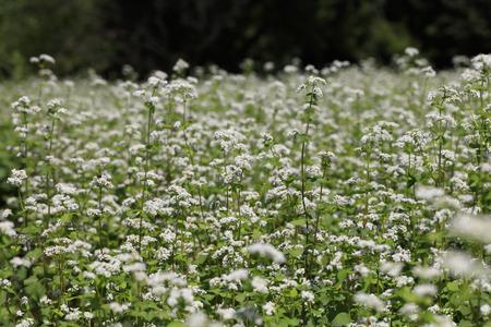Buckwheat flower - August of Japan -