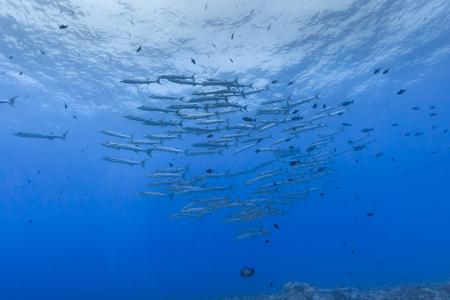 Palau Diving - Flock of Blackfin barracuda