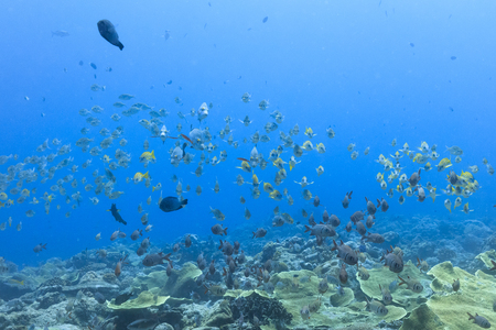Palau Diving -  A group of fish swimming towards the stream Stock Photo
