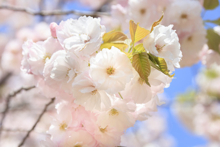 Double cherry blossoms in full bloom - Spring of Japan -