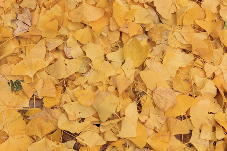 The yellow leaves of ginkgo bunched on the ground