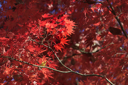 A bright red maple