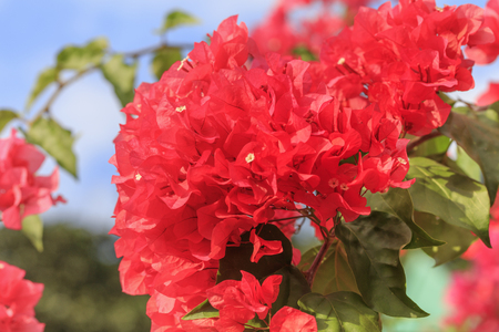 Flower blooming in Chichijima - Red Bougainvillea