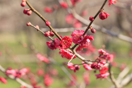 Early blooming Red plum blossoms