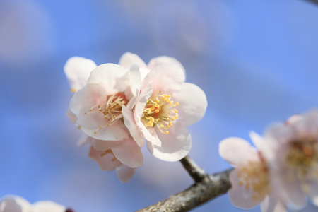 Early blooming Pink plum blossoms
