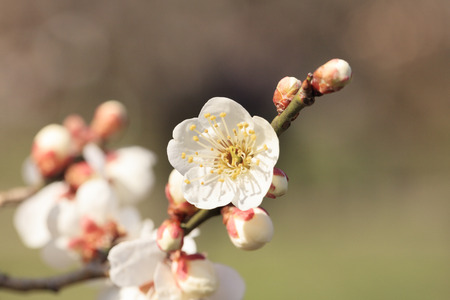 Early blooming White plum blossoms Stok Fotoğraf