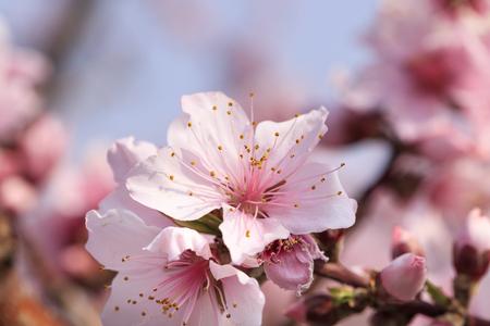 Peach Blossom - Spring of Japan - Stok Fotoğraf - 126797394