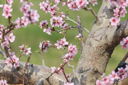 Peach Blossom - Spring of Japan - Stok Fotoğraf - 126797401