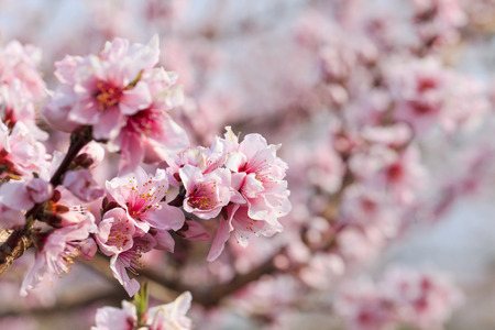 Peach Blossom - Spring of Japan -