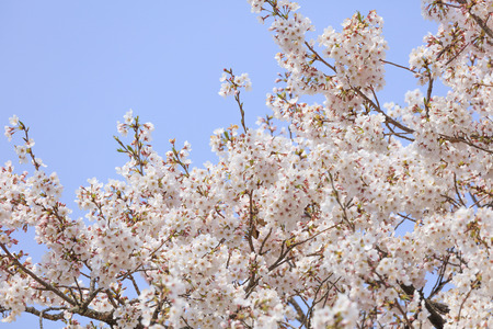 Cherry blossoms in full bloom in Yamanashi - Japan spring -