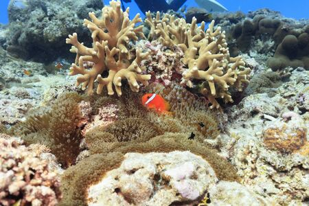 Ishigaki Island Diving-Anemone fish held in an anemone and Threespot dascyllus Stok Fotoğraf