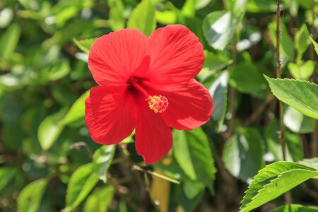 Flowers blooming on Ishigaki Island in autumn - Hibiscus