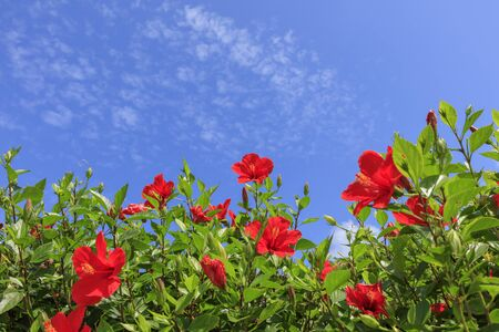 Flowers blooming on Ishigaki Island in autumn - Hibiscus Stok Fotoğraf - 131806815