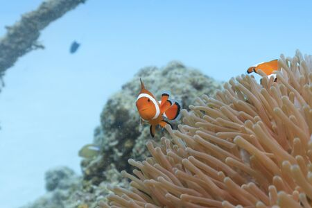 Ishigaki Island Diving-Cute Anemone fish Stok Fotoğraf