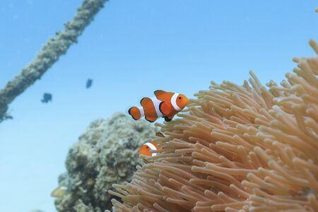 Ishigaki Island Diving-Cute Anemone fish Stock fotó