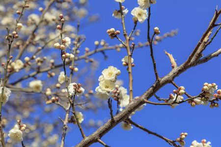 Flowering of plums in Tokyo - Japanese early spring Stok Fotoğraf - 132003980