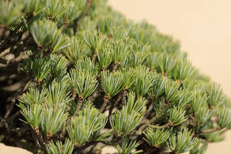 Bonsai - Five leaf pine - Stok Fotoğraf
