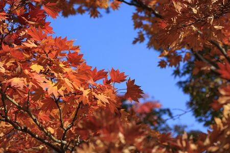 Maple with autumn leaves - Autumn in japan