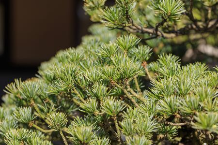 Bonsai - Five leaf pine - Stock fotó