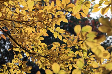 Yellow-colored Lindera glauca leaves - Autumn in tokyo