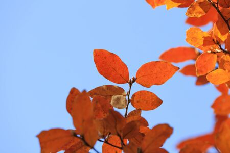 Orange-colored Lindera glauca leaves - Autumn in tokyo