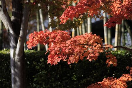 Red-colored Acer japonicum leaves - Autumn in tokyo