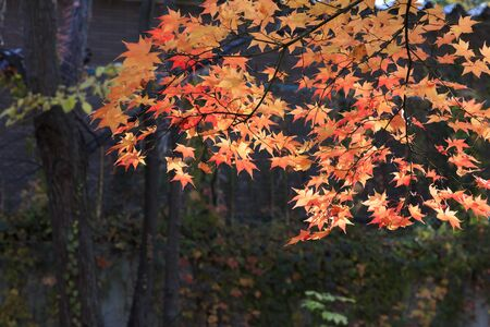 Autumn maple leaves bathing in the morning sun - Autumn in Sapporo