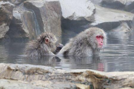 Monkey couple soaking in hot spring Фото со стока