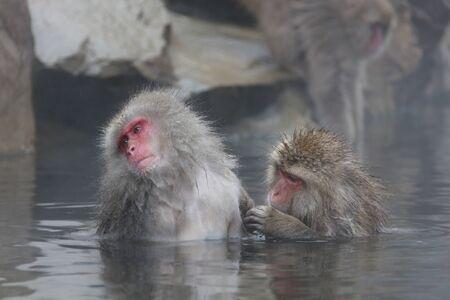 Monkey couple soaking in hot spring 写真素材