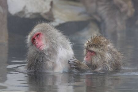 Monkey couple soaking in hot spring 写真素材