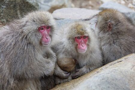 Japanese macaques watching the situation from a large rock shade