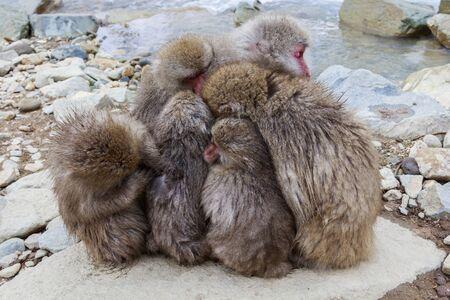 Monkeys snuggling