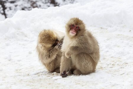 Japanese macaque grooming on snowy road Stok Fotoğraf