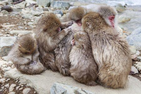 Japanese macaques hugging Stok Fotoğraf