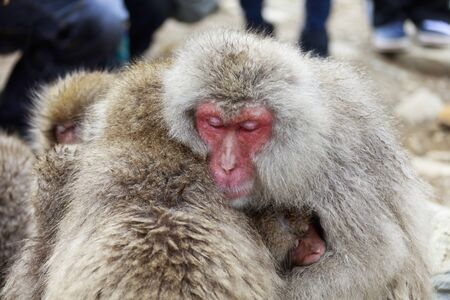 Japanese macaques hugging 写真素材