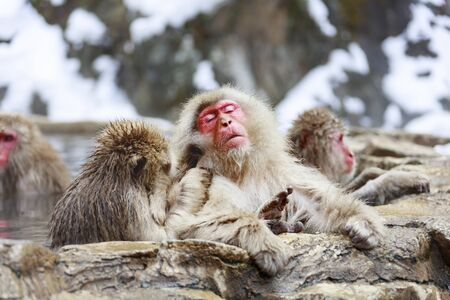 Monkey couple grooming in hot spring Stok Fotoğraf