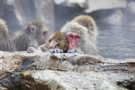 A baby monkey entering a hot spring with your mother